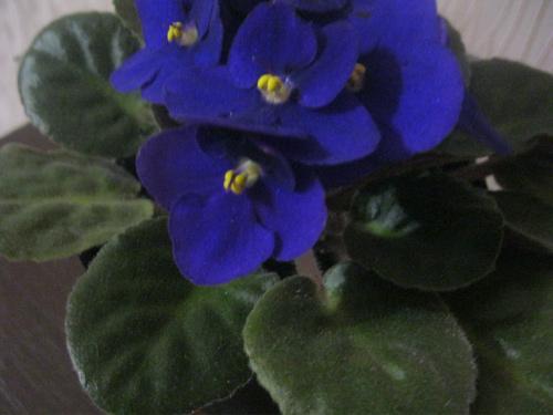 fialka uzumbarskaya 9