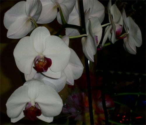domashnyaya orkhideya 5