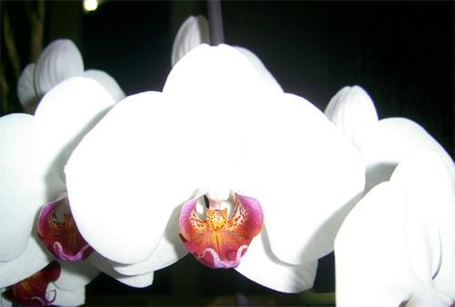 domashnyaya orkhideya 7