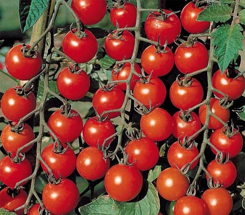 pomidory vyrashchivanie 3