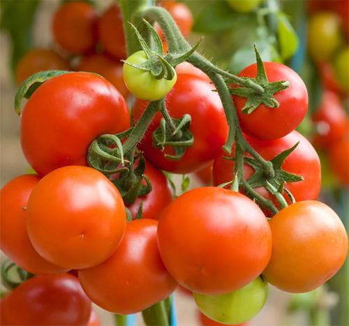 pomidory vyrashchivanie 4