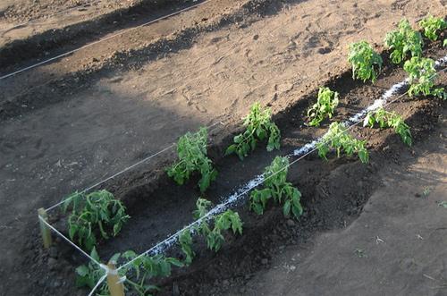 pomidory vyrashchivanie 7