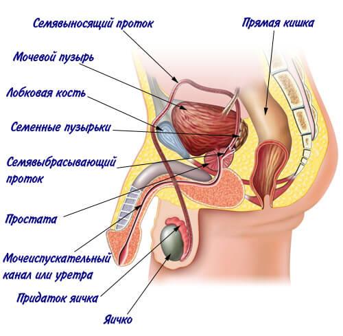 anatomiya muzhchiny 1