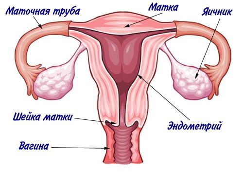anatomiya zhenshchiny 1