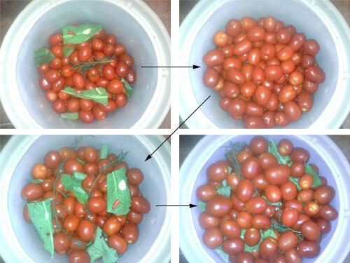 pomidory v bochke 8