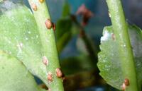 Щитовки на комнатных растениях