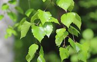 березовые листья от варикоза