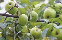 Яблоки антоновка от варикоза