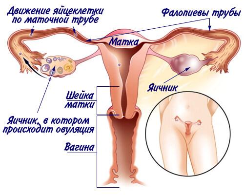 ovulyatsiya 1