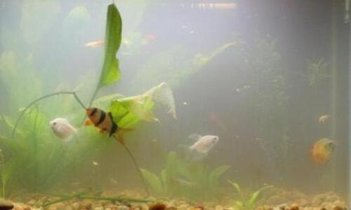Мутная белая вода в аквариуме