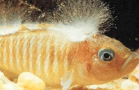Симптомы и лечение аквариумных рыб