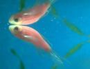 Кислородное голодание аквариумных рыб
