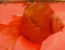 Расстройство (болезнь) плавательного пузыря у аквариумных рыб
