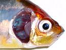 Отрасление аквариумных рыб аммиаком
