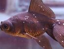 Ихтиофтириоз (Ichthyophtirius) или белые пятна у аквариумных рыб