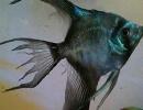 Плавниковая гниль (Fin Rot) у аквариумных рыб