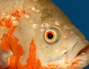 Дырки на голове у аквариумных рыб
