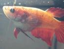 Отравление аквариумных рыб нитритами