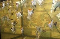 Скалярии - семейство цихлидовые