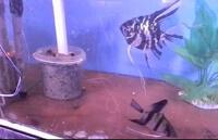 Размножение скалярий