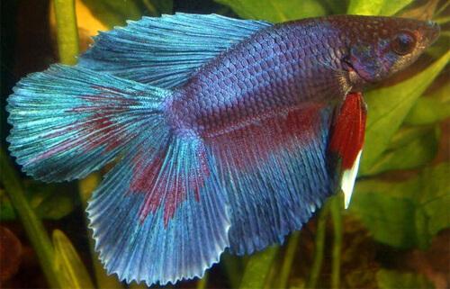 Петушок или Бойцовая рыбка (Betta)