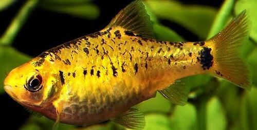 Золотой Барбус (Gold Barb)