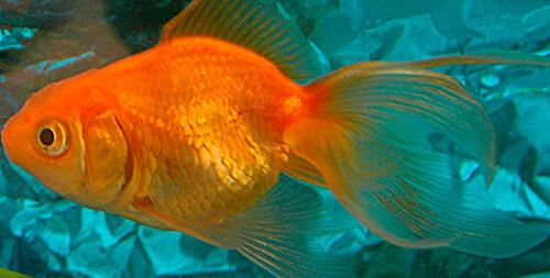 Золотая рыбка (Goldfish)