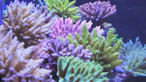 Виды коралла Акропора