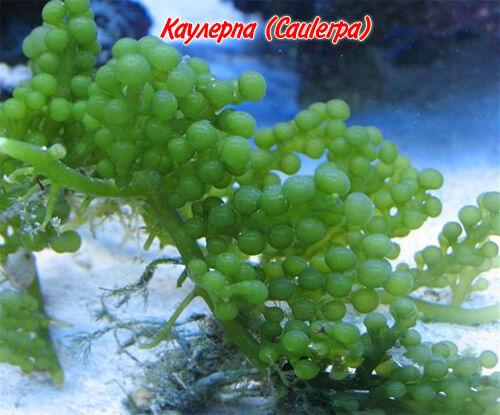 каулерпа (Caulerpa)