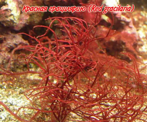 грацилярию (gracilaria)