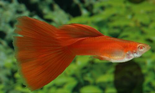 Самец гуппи - Красный вуалевый.
