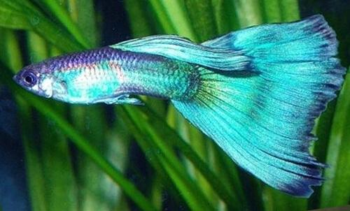 Самец гуппи - Смарагдовый (Изумрудный).