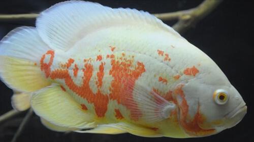 Астронотус альбинос – фото.