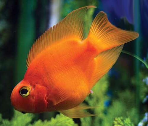 Красный попугай, Кроваво-Красный попугай или Цихлида гибрид.