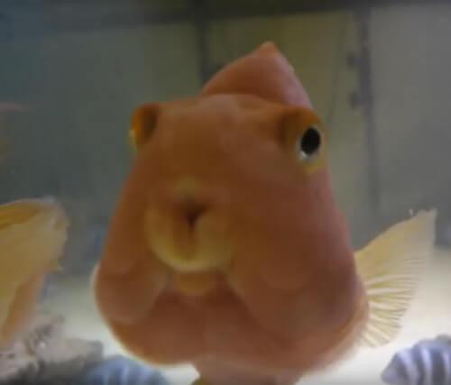 Содержание рыбы Красный попугай.