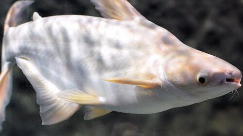 Сом Пангасиус акулий - альбинос.