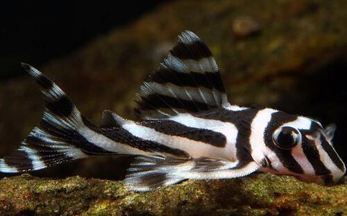 Плекостомус Зебра (Zebra pleco).