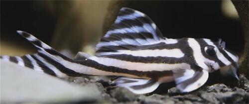 Сом Плекостомус Зебра (Zebra Pleco).