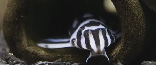 Сом Гипанциструс Зебра (Hypancistrus Zebra).