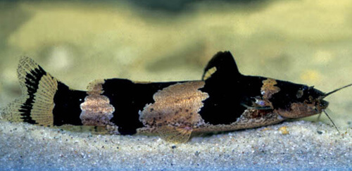 Южноамериканский сом Шмель (South America Bumblebee Catfish)