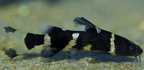 Азиатский сом Шмель (Asian Bumblebee Catfish)