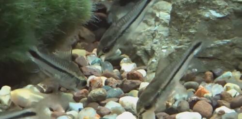 Сомик Коридорас Карликовый (Dwarf Corydoras).