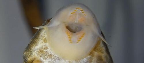 Panaque maccus.