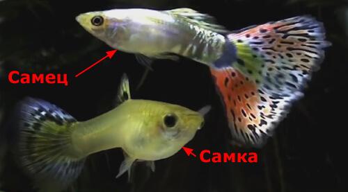 Гуппи – живородящие рыбы.