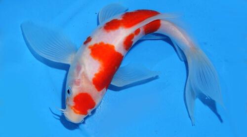 Прудовые рыбы или содержание Карпов Кои.