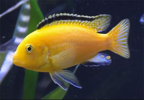 Лабидохромис Еллоу или цихлида Лабидохромис желтый.