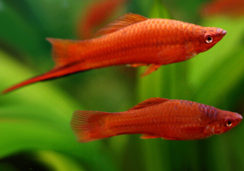 Меченосец (Swordtail) – фото.