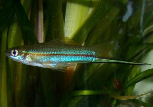 Зеленый Меченосец (Green Swordtail) – фото.