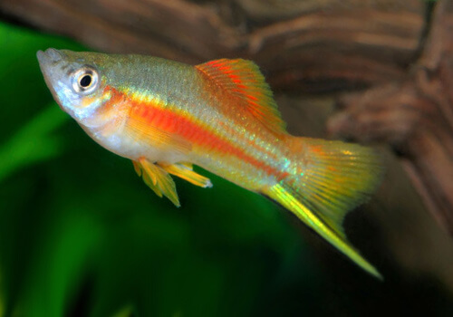 Неоновый Меченосец (Neon Swordtail) – фото.