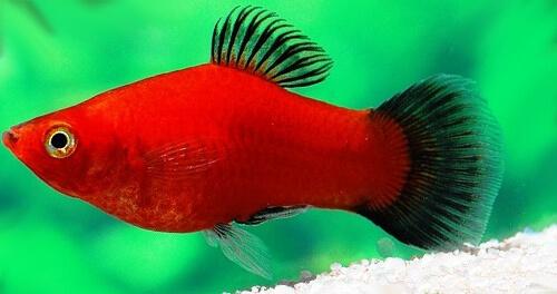 Пецилия красная чернохвостая (Red Wagtail Platies) – фото.